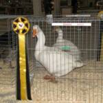 Reserve Champion Goose Champion Heavy Goose White Embden C by Tim Johnson